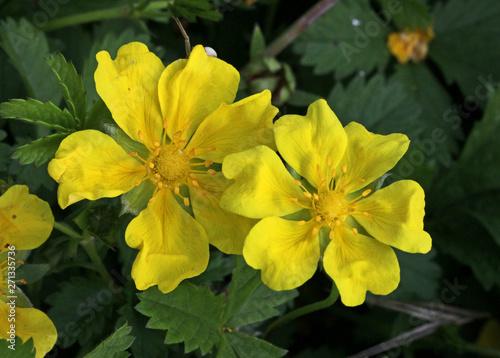 Fotografia, Obraz fiori delicati di potentilla strisciante (Potentilla reptans)