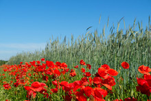 Red Blooming Poppies For Bees, Pollinators And Insect Along Rye And Cereal Field.
