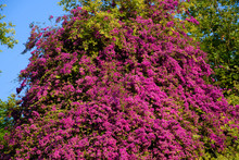 Bougainvillea Tree On The Stre...