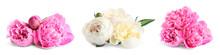 Set Of Beautiful Peony Flowers On White Background