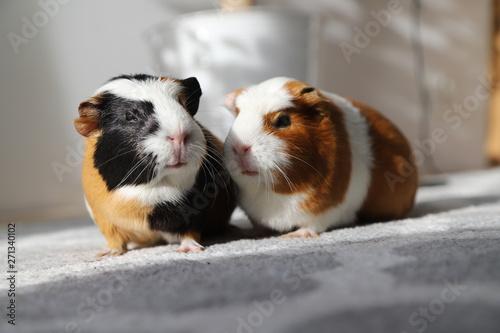 Fotografiet two guinea pigs on a walk