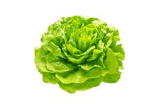 Green Trocadero Lettuce Salad Head