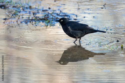 Photo rusty blackbird (Euphagus carolinus)