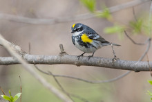 Male Yellow-rumped Warbler (Se...