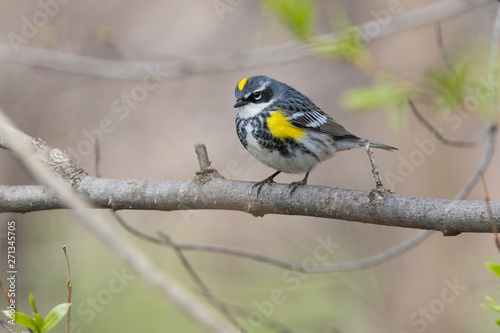 Photo Male yellow-rumped warbler (Setophaga coronata) in spring