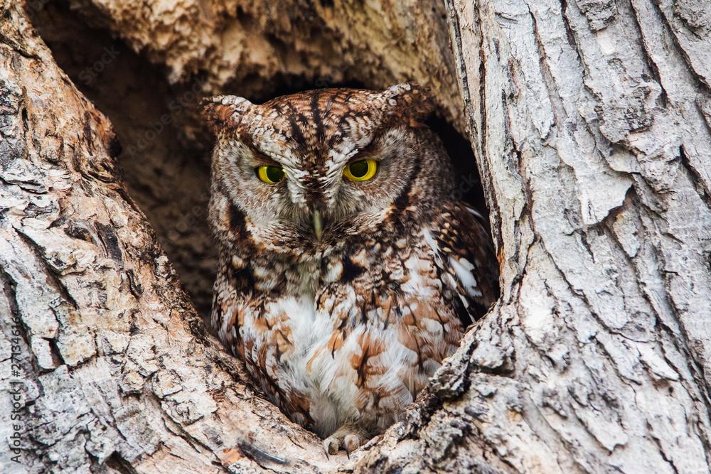 Fototapeta eastern screech owl or eastern screech-owl (Megascops asio)
