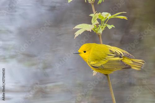 Obraz na płótnie yellow warbler (Setophaga petechia, formerly Dendroica petechia)