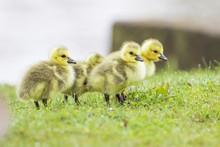 Cute Canada Goose (Branta Canadensis) Babies