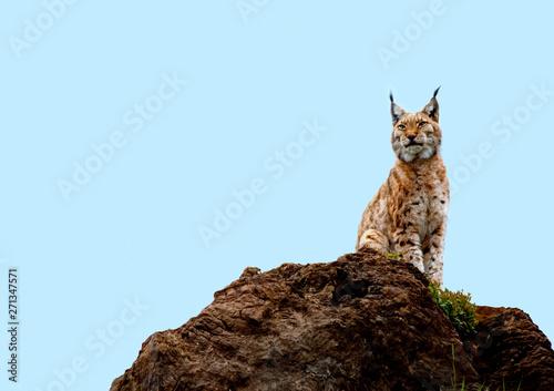 Foto  lynx on top of a rock