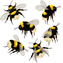 Set Of Bumblebees Isolated On ...