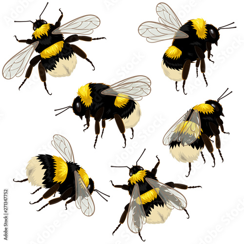 Foto Set of bumblebees isolated on white background in different angles