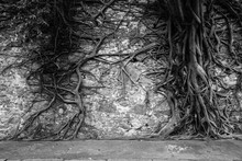 Knotted Roots Of A Tree On A Stone Wall. Image Process Contain Exessive Noise Or Grain. Black And White Image