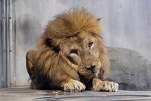 The Big Male Lion Sitting On T...