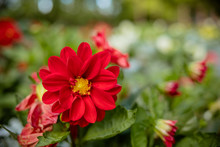 Beautiful Dahlia Flower In The...