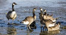 Canada Goose Parent Watches Ov...