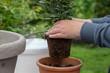 hobbygärtner pflanzt gewürzlorbeer