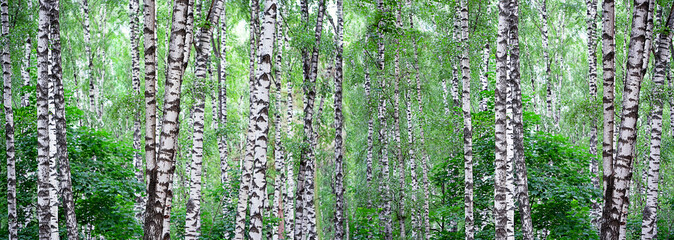 Fototapeta Brzoza Summer landscape with birch forest. Beautiful nature wilderness. Summer green birch forest. White birches and green leaves. panoramic long banner, template for design, copy space