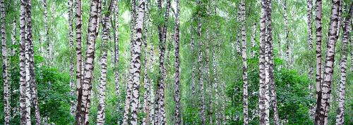 Summer landscape with birch forest Canvas Print