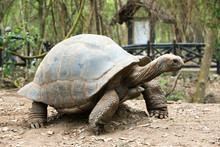 Galapagos Tortoise In A Nature...