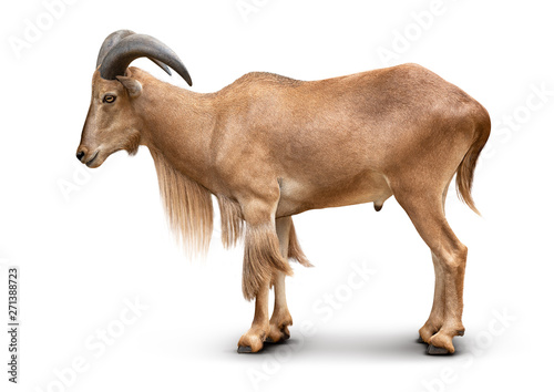 Fotobehang Schapen Young brown Barbary sheep isolated on white background with clipping path