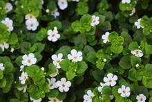 Bacopa Monnieri, Herb Bacopa I...