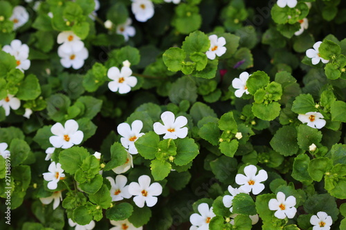Bacopa monnieri, herb Bacopa is a medicinal herb used in Ayurveda, also known as Wallpaper Mural