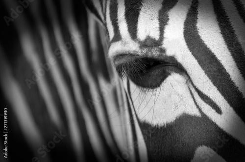 Poster Zebra zebra on black background