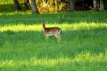 European Deer Feeding On A For...