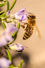 Bees, Honey Bee Sucking Nectar And Polinating On Rosemary, Rosmarin Flower, Rosmarinus Officinalis, With Its Beautiful Lilac Flowers And Green Needles
