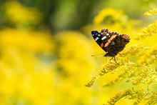Insect Butterfly Red Admiral, Vanessa Atalanta, On Goldenrod. Copy Space