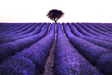Obraz na Szkle Lawenda Lavender field summer sunset landscape near Valensole. Provence, France