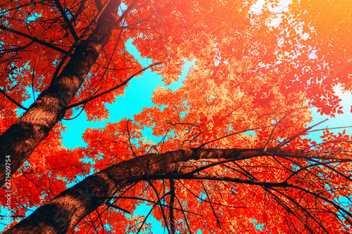 Foto op Canvas Bomen Autumn trees with red leaves over blu sky