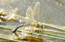 Female Emperor Dragonfly Depositing Eggs, Copy Space