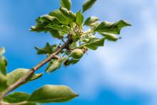 Apple Development Stages. Unripe Apple On A Apple Tree.