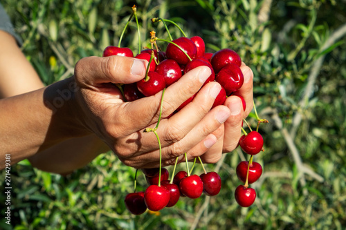 Foto man with freshly collected cherries in his hands