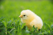 Leinwandbild Motiv Photo of cute small yellow baby chicken standing on green grass in garden