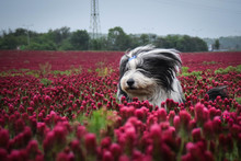 Bearded Collie, Who Is Running In Tall Shamrock This Day Was Really Bad. It Was Raining But We Do This Photo.