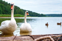 Swans In The Wild, Family Of Swans On The Pond