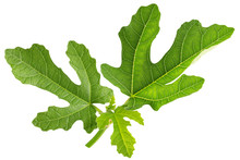 Fig Leaves Isolated On A White Background