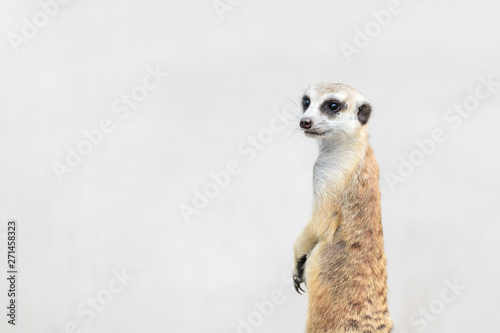 Obraz na plátne Meerkat Suricata suricatta, African native animal,