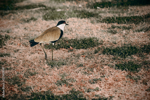 Fotografie, Obraz  Heron walks on the grass