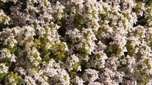 Abeilles Butinant Sur Des Fleurs De Thym