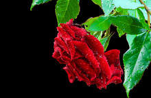 Beautiful Red Rose Flower Isolated On Black Background. Water Drops On The Petals. Natural Texture, Selective Focus.