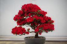 Bonsai Tree. Vibrant Red Pink Flower Of A Azalea. Rhododendro Indicum Korin