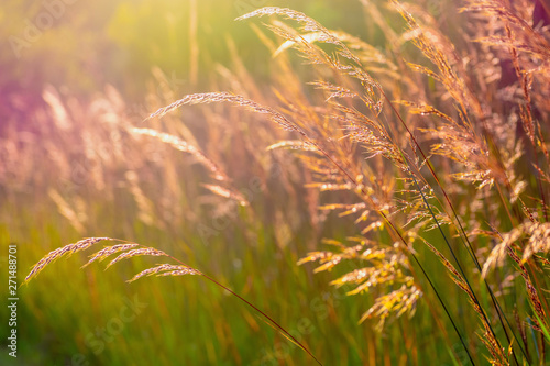Closeup of native prairie grass at golden hour Fototapet