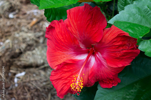 Red Hibiscus Zoom
