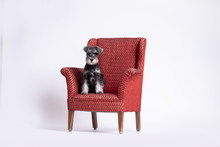 Miniature Schnauzer Pup Posing In Upholstered Red Chair. High Key Portrait.