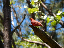 Male Summer Tanager Perched In...