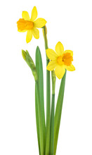 Narcissus Flowers With Leaves Isolated On White Background. Spring Season.