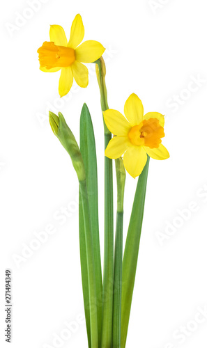 Narcissus flowers with leaves isolated on white background Fototapeta